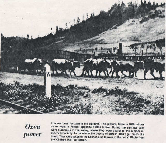 1890 Oxen hauling lumber along what is now Graham Hill Rd at Felton Grove.